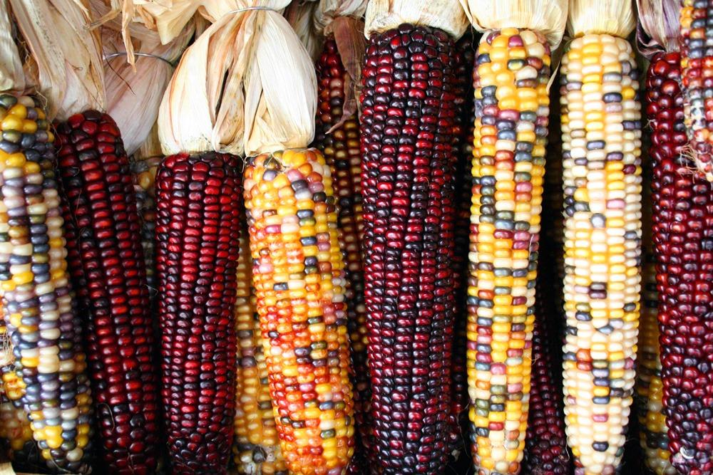Los 5 tipos de maíz más conocidos en México