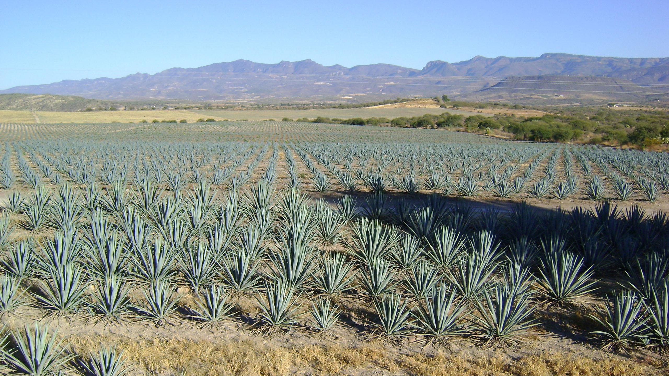 IPN desarrolla investigación para combatir la colitis con agave