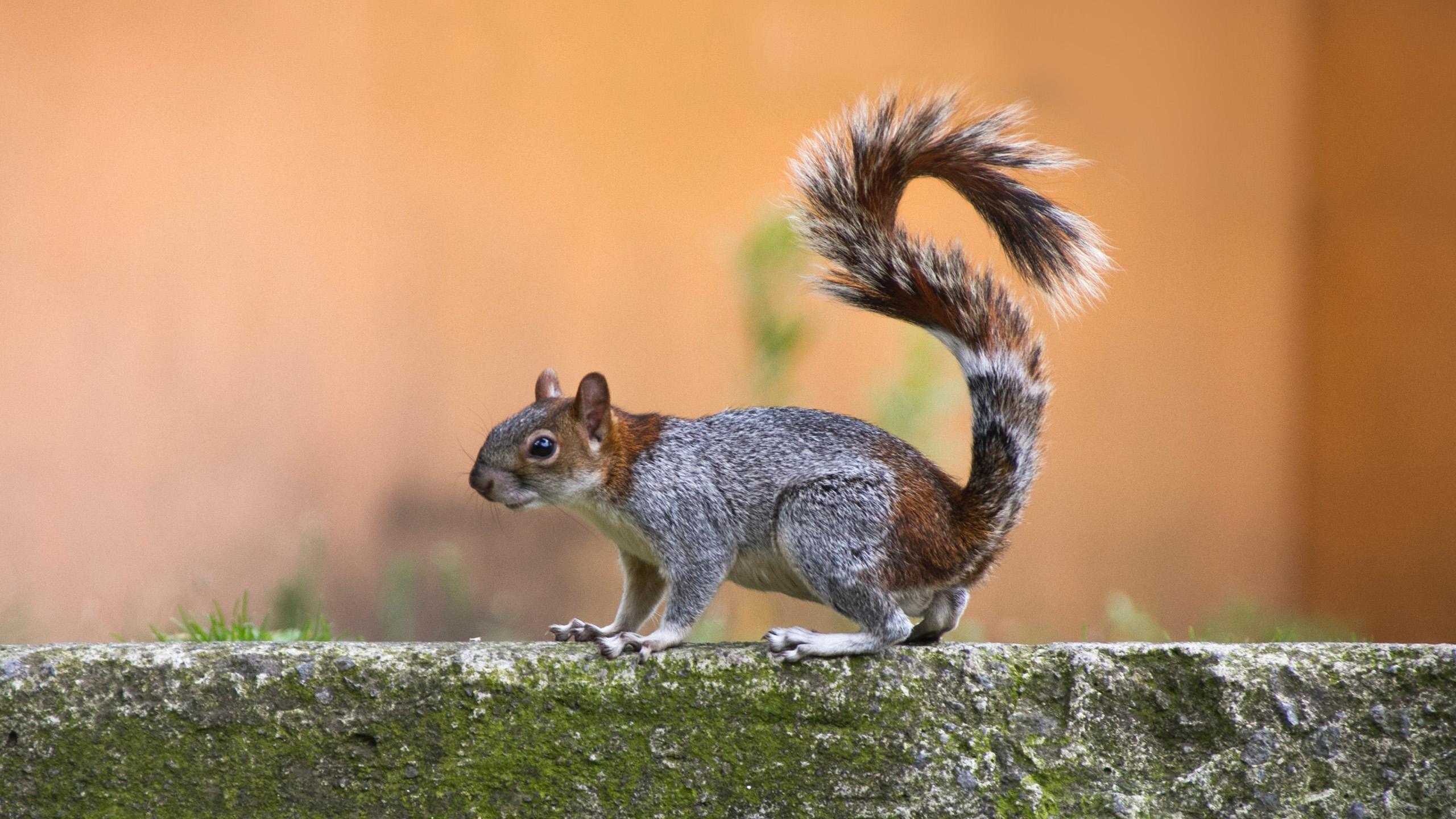 La ardilla gris podría ser la nueva fuente de proteína sustentable