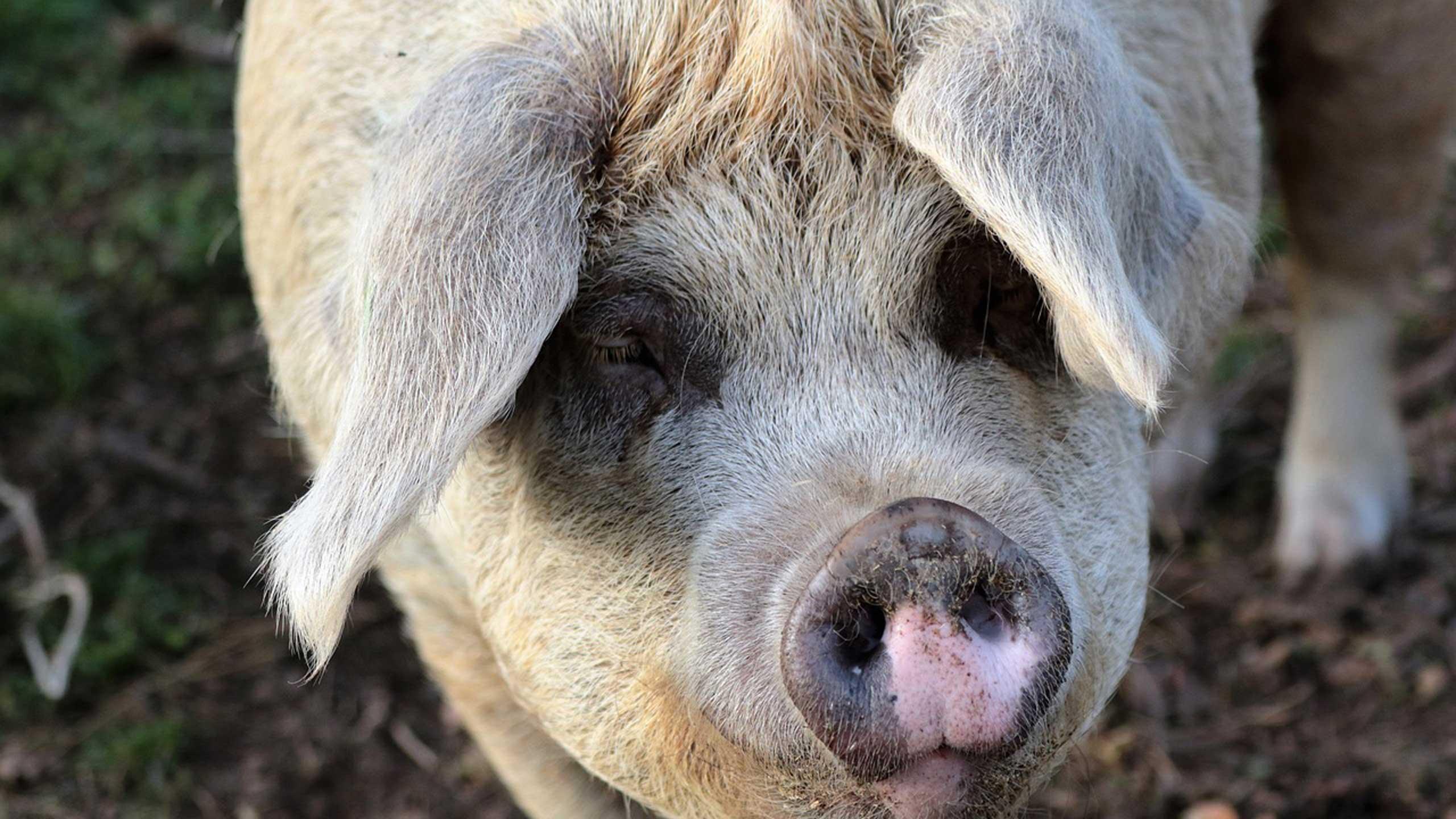 reconocimientos facial en cerdos