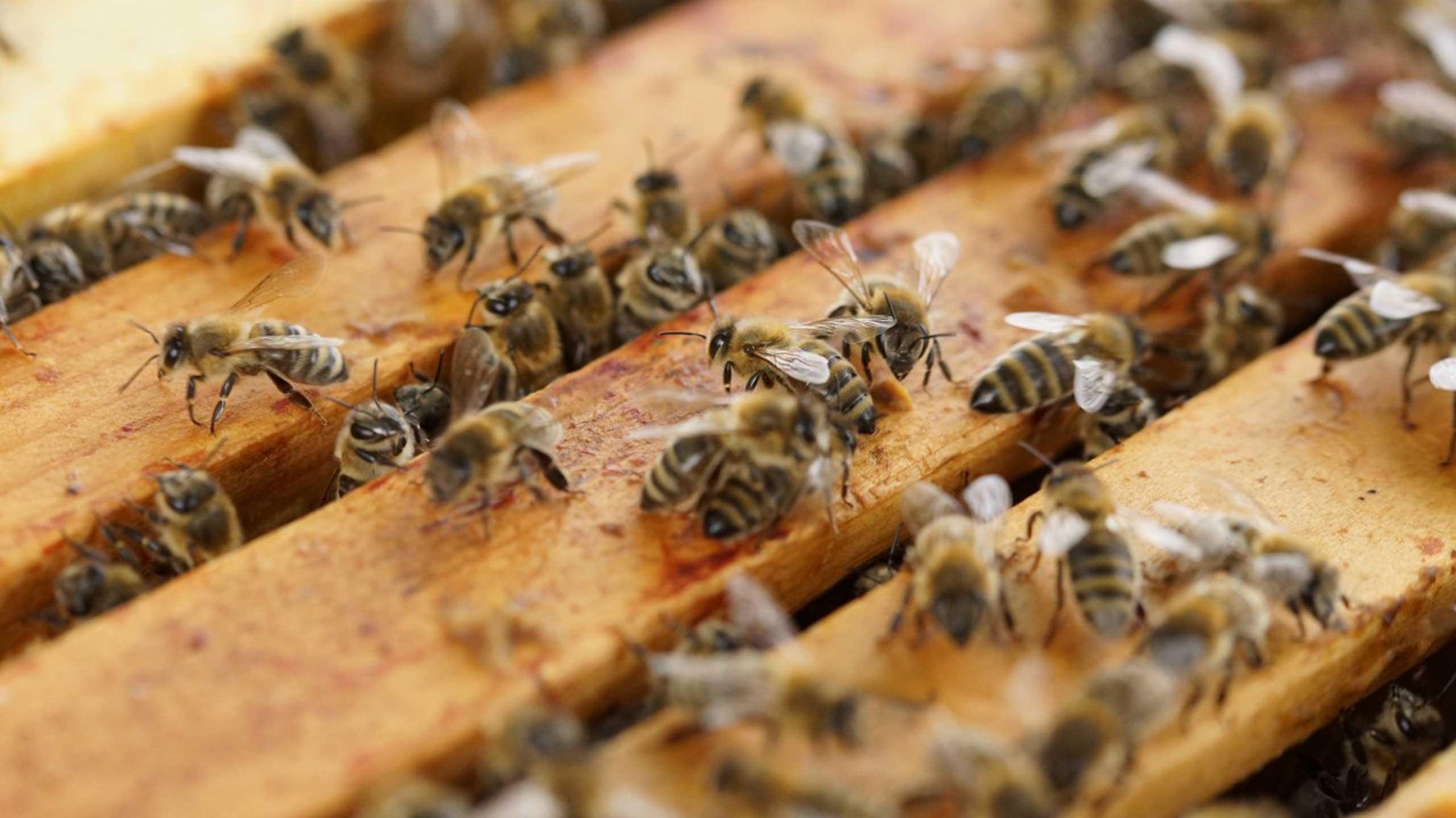 abejas en peligro