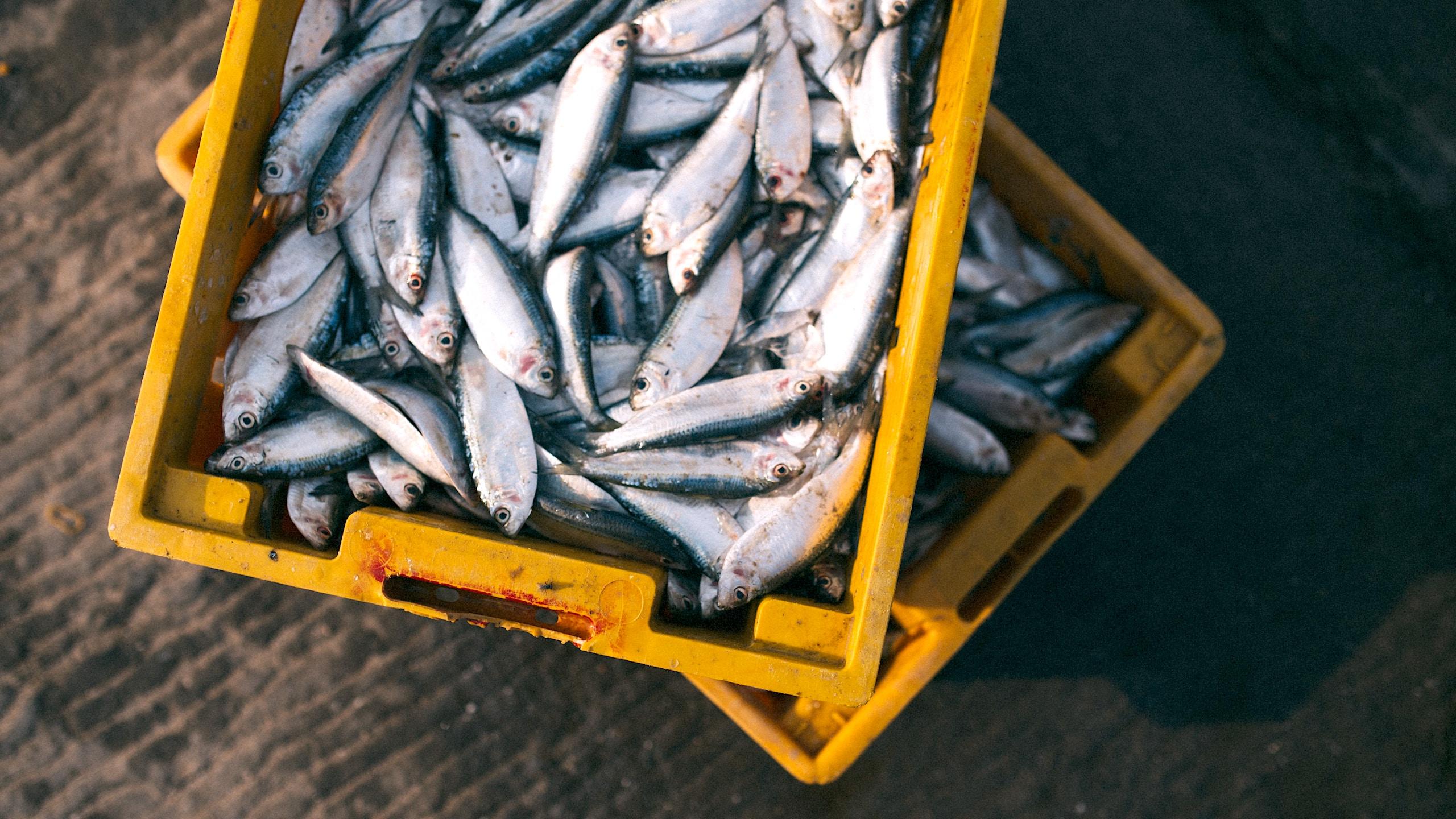 sustitución de pescados