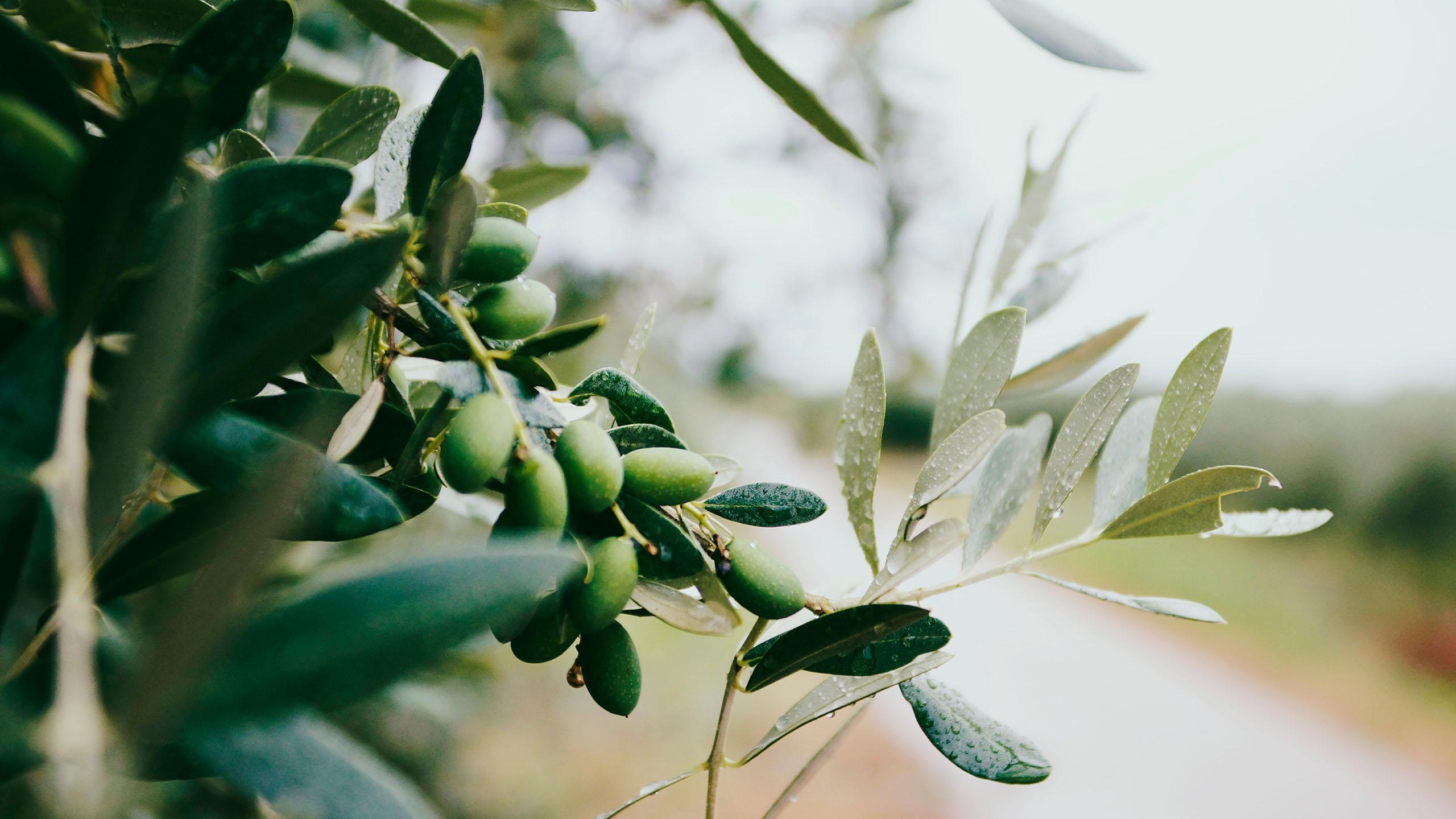 aceite, aceite de olivo