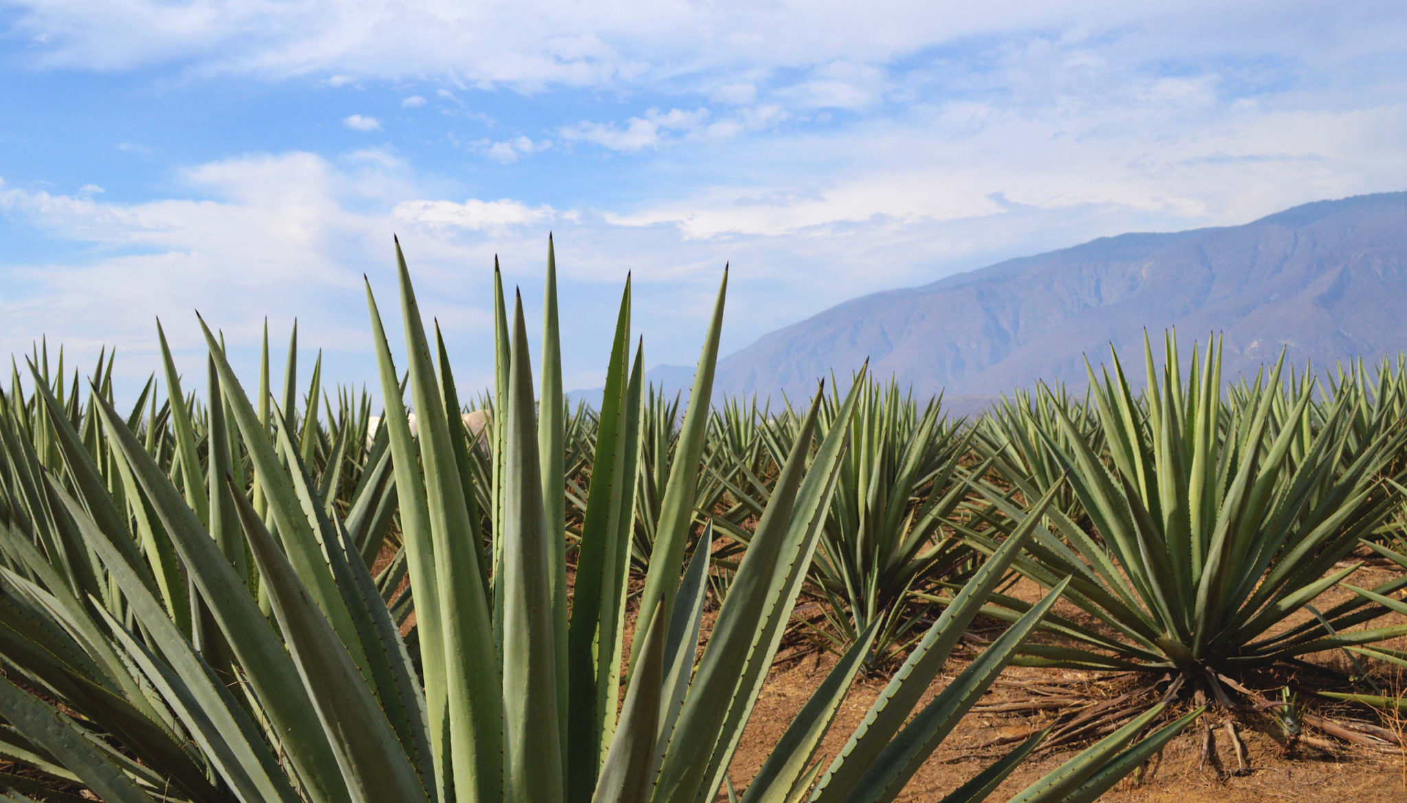 agaves silvestres