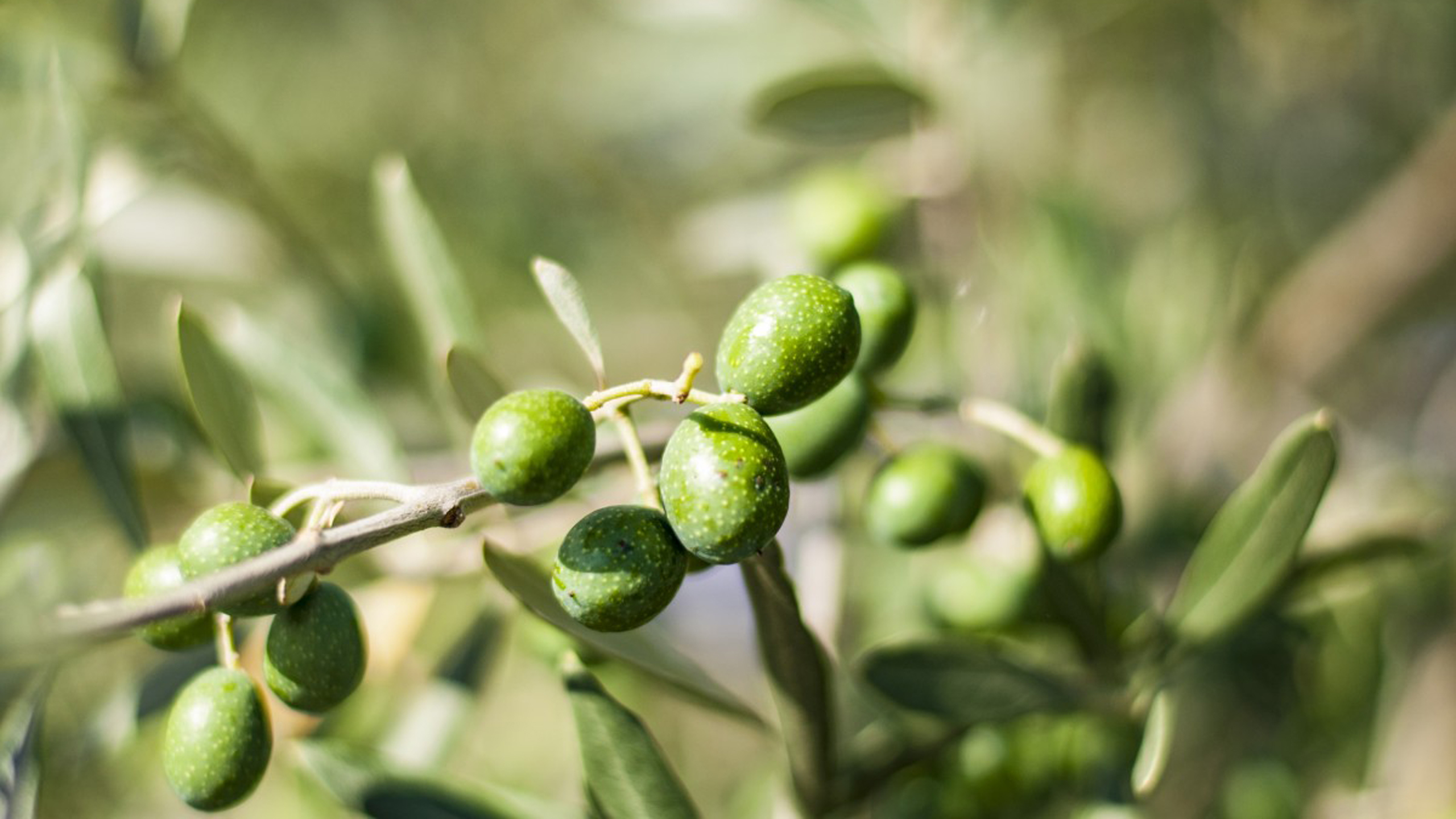 olivar español en peligro