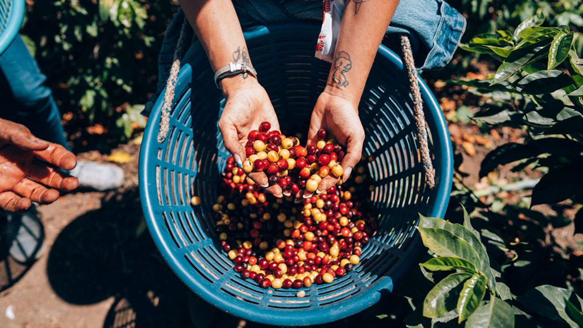 café en guatemala