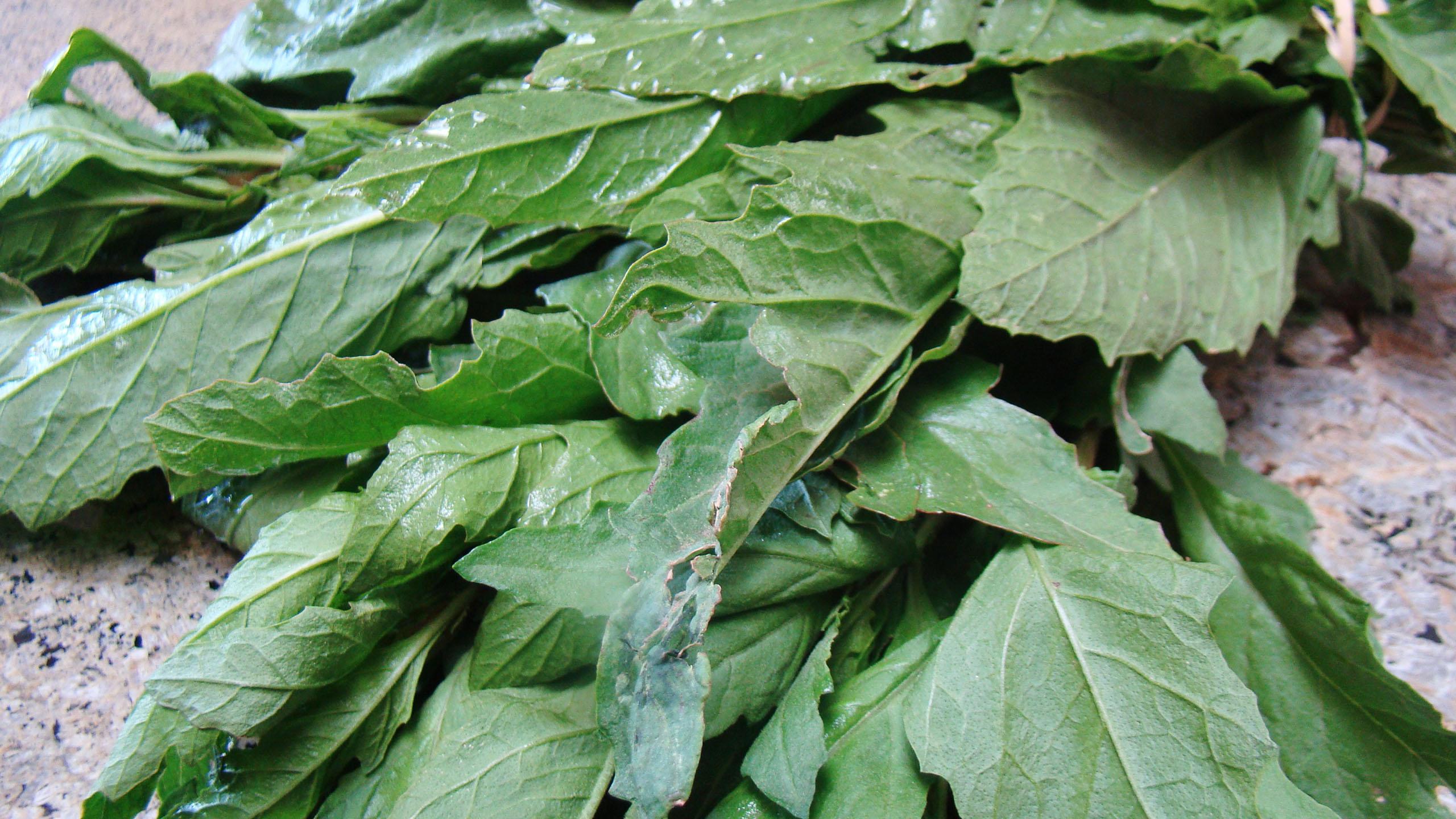 epazote, planta medicinal, plantas