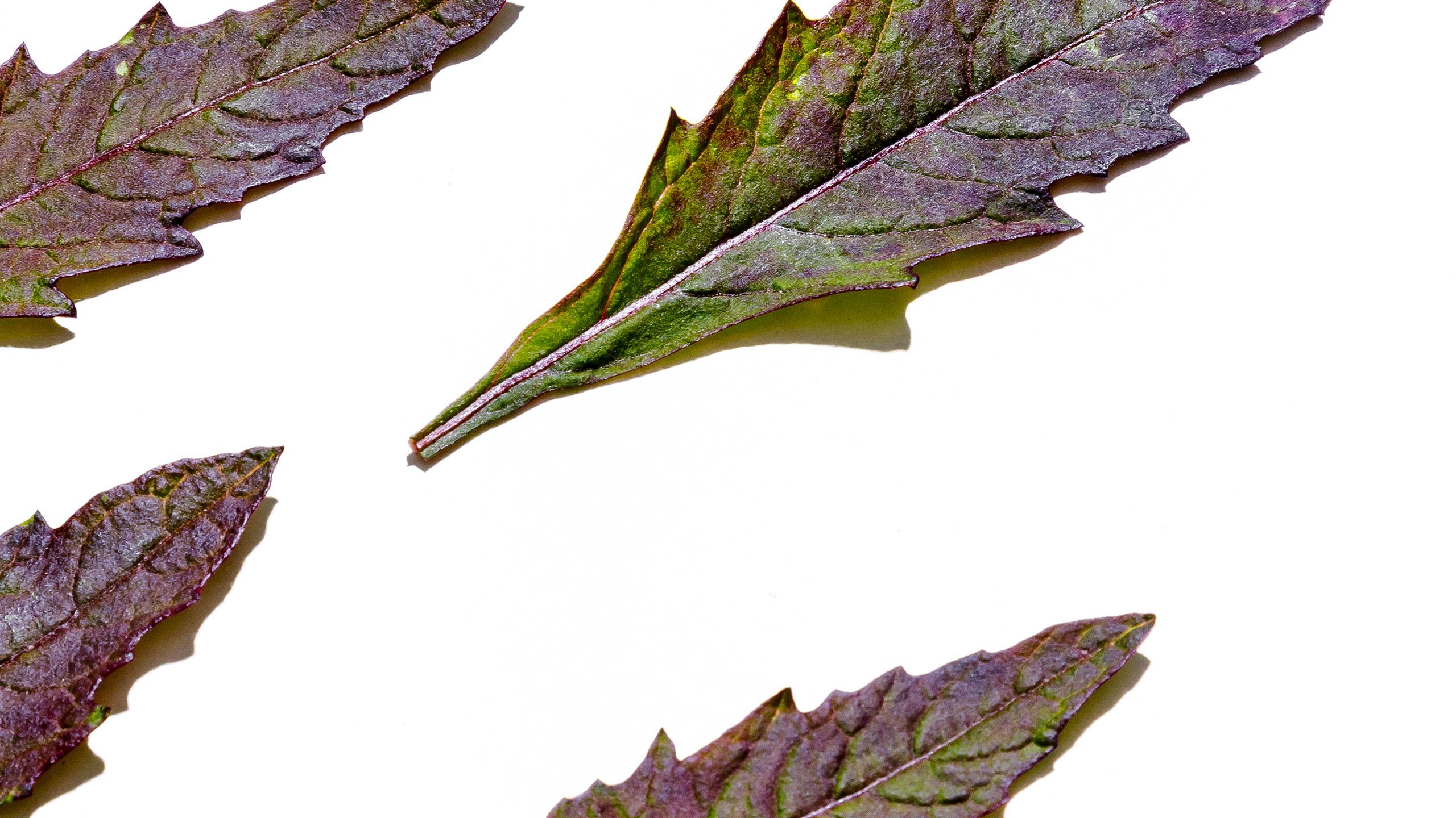 epazote, hierba, hierbas frescas