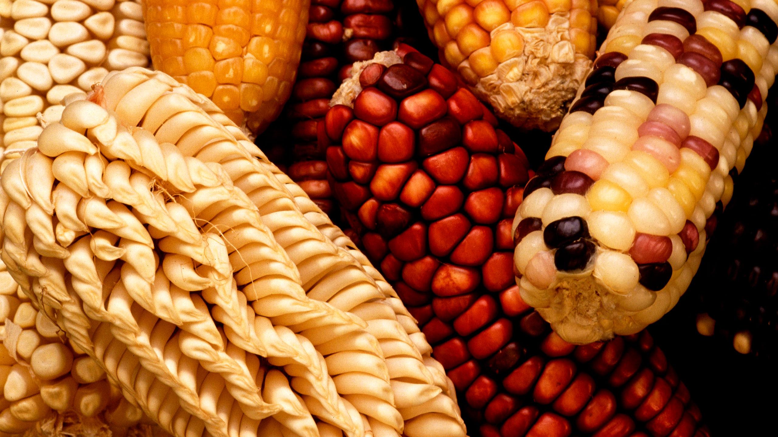 maíces ancestrales conservados por los yumhu