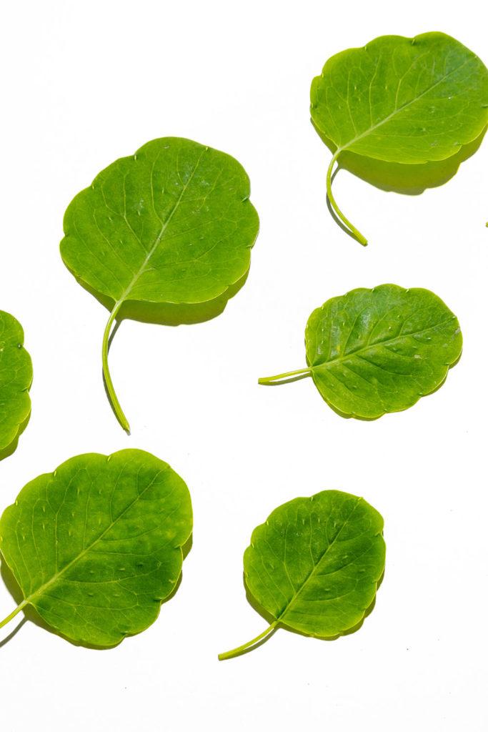 pápalo, hierbas frescas