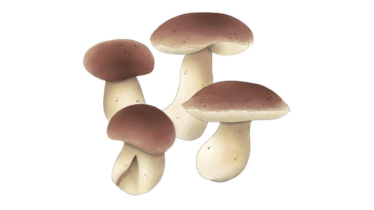 hongos comestibles porcini