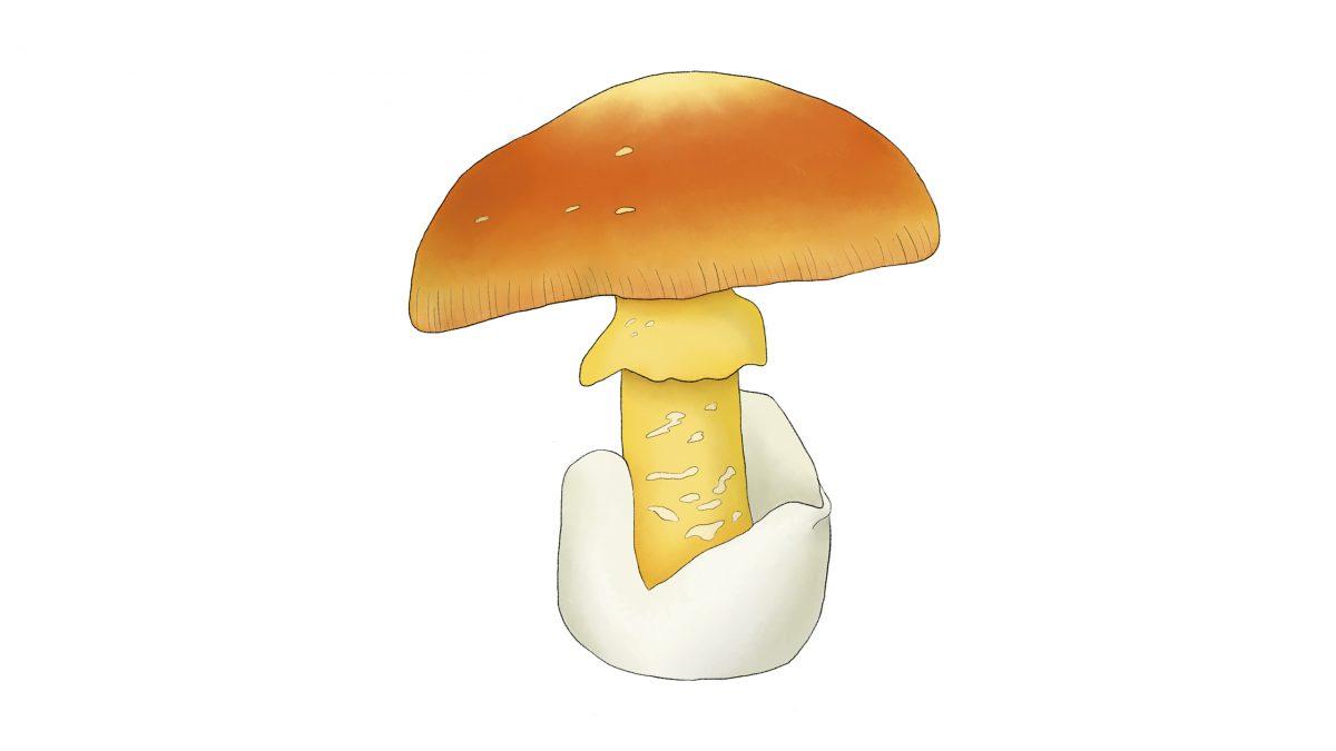 hongos comestibles yema de huevo amarita cesarea