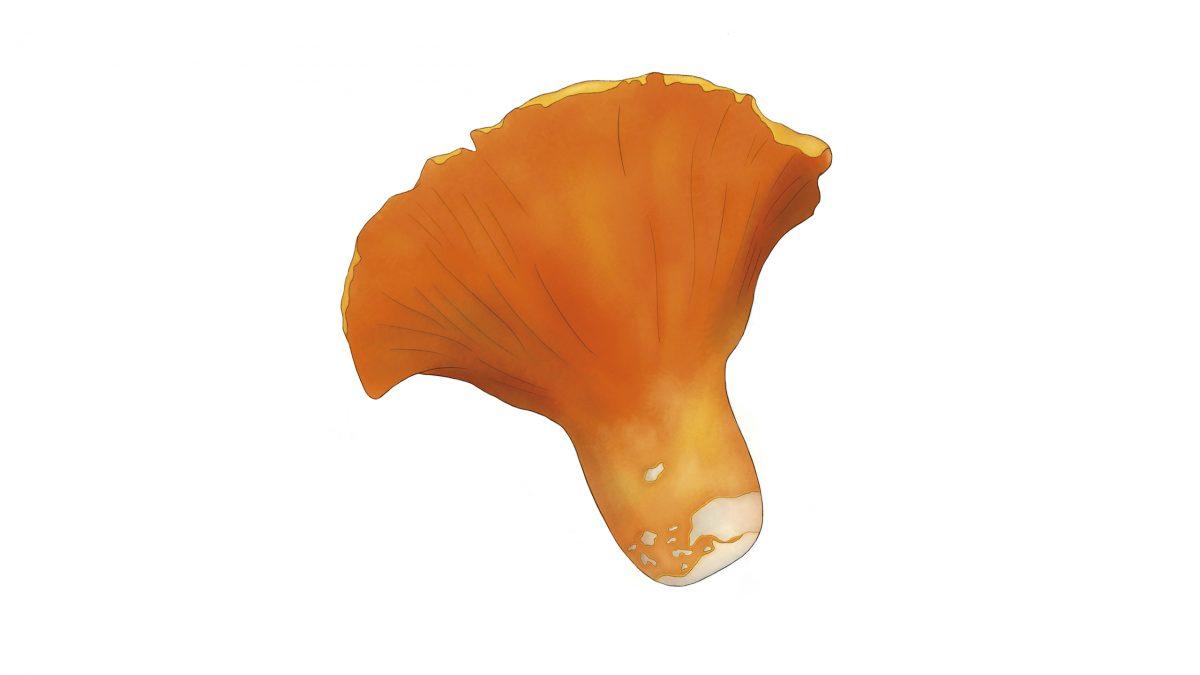 hongos comestibles oreja de puerco hypomyces lactifluorum