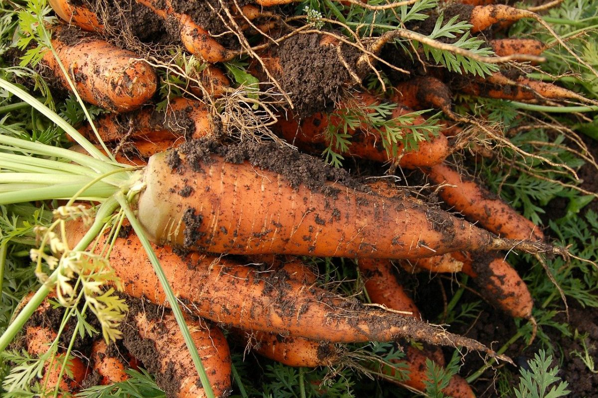 zanahorias de huertos urbanos