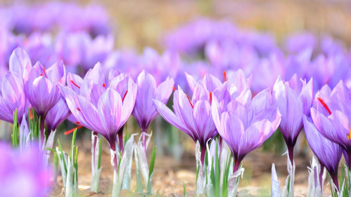 azafran-afganistan-saffron-especias-Karima-Sadiqi-Mohammad Amiri