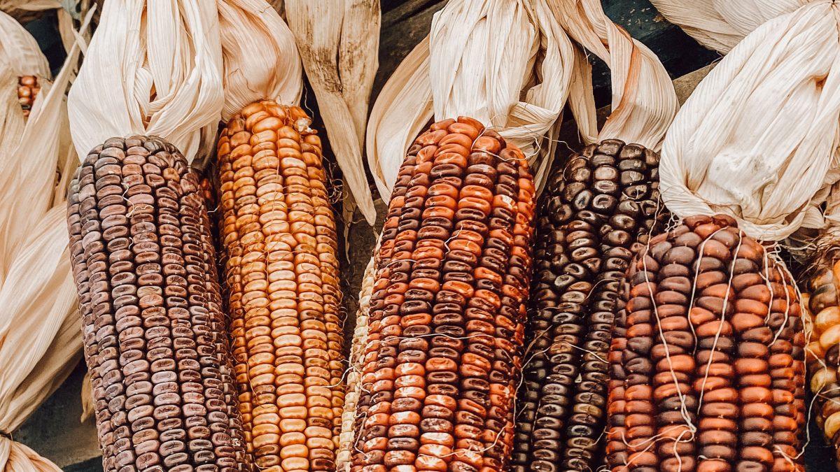 maíz, maíz transgénico,maíz orgánico