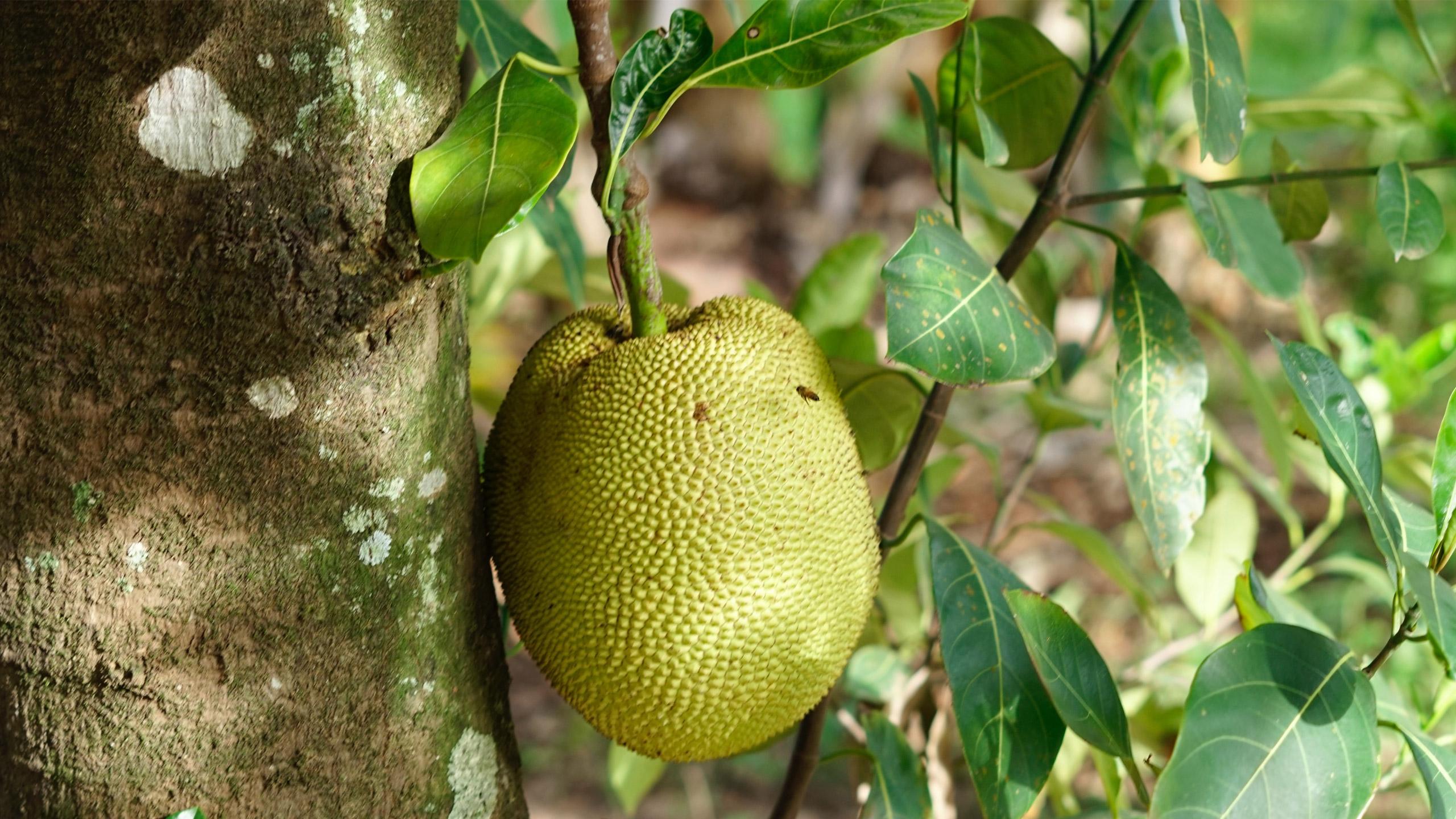 Yaca_jackfruit