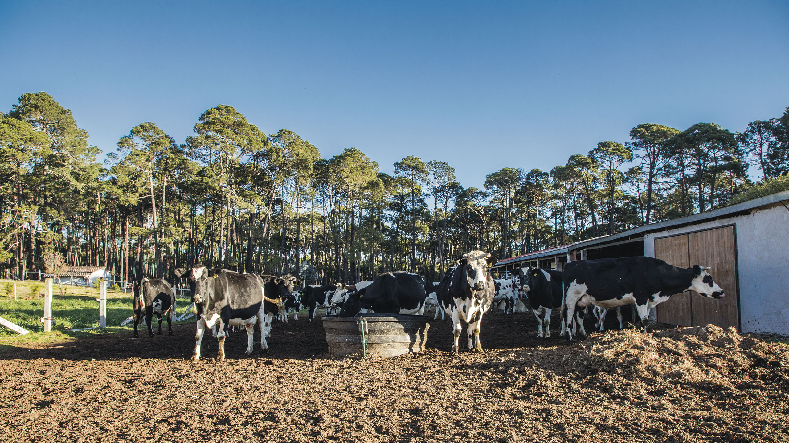 rancho, vacas, Rancho Cuatro Encinos