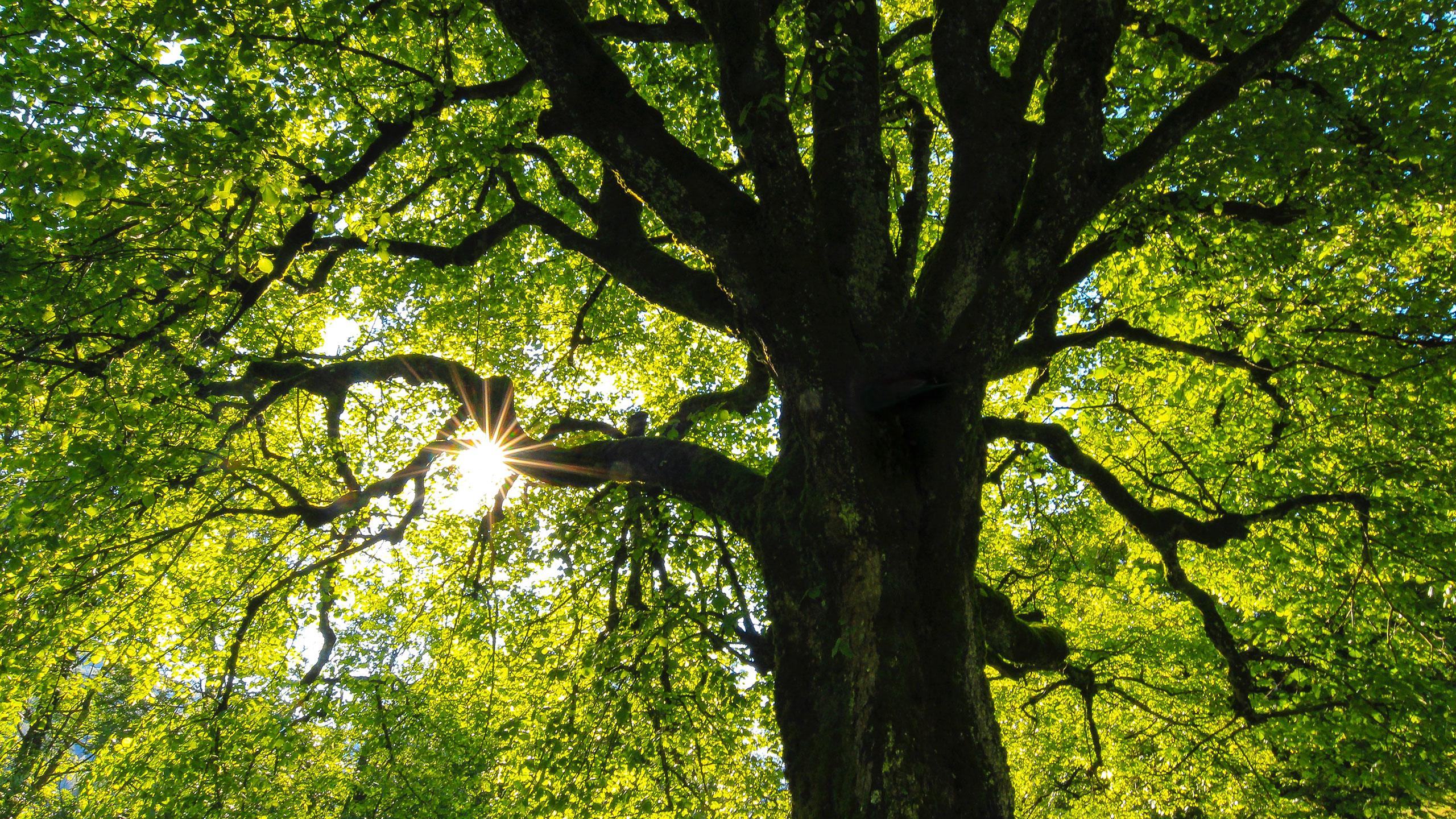 árbol-Ramón