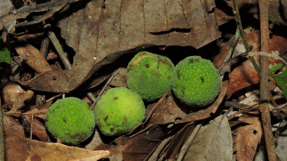 semillas-arbol-ramon