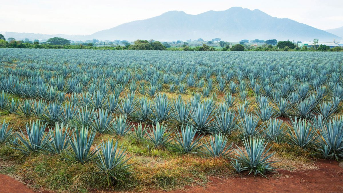 Agave-policia-tequila