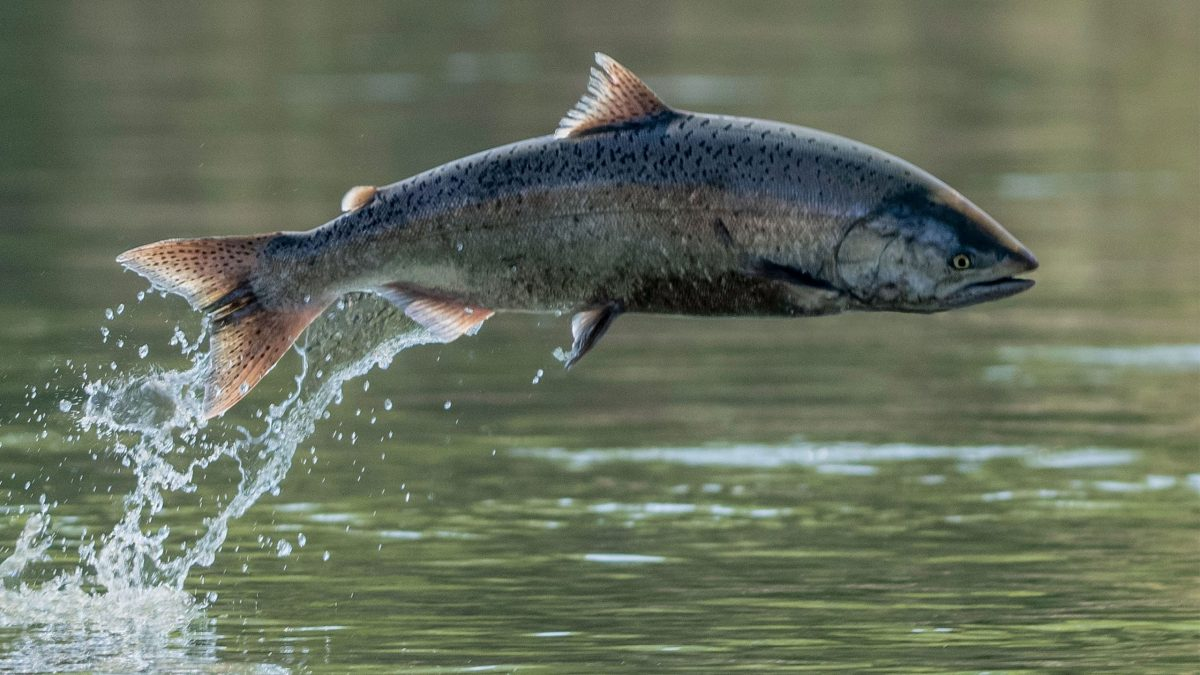 salmones-calor