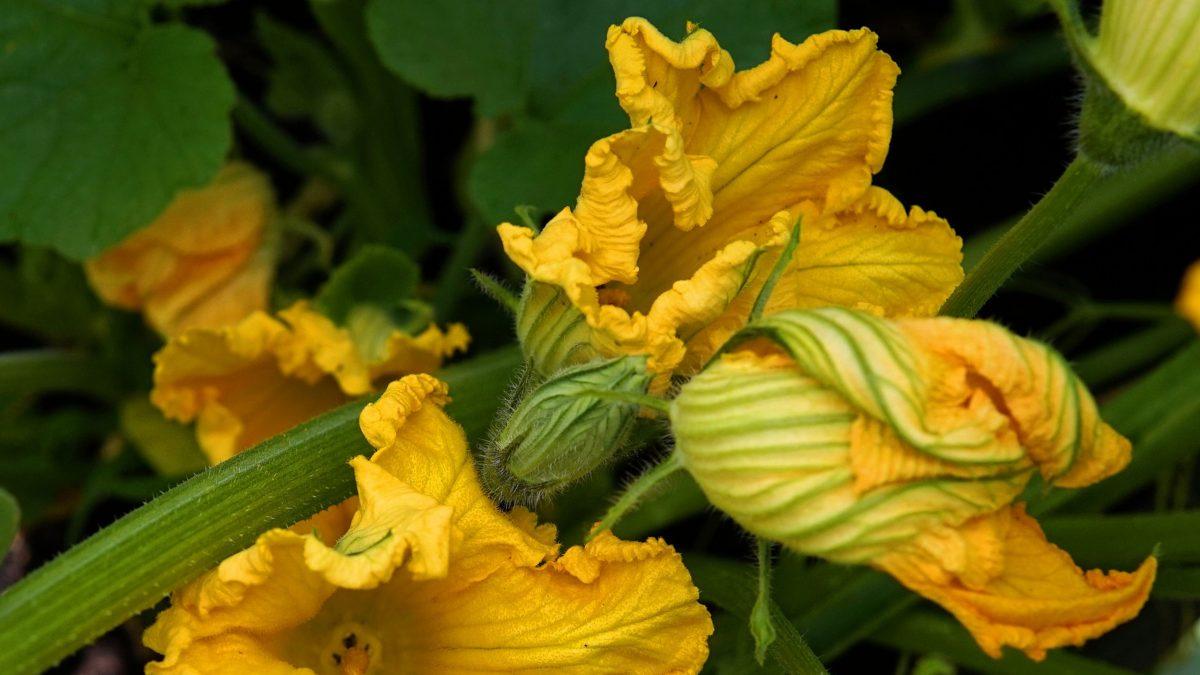 flores-de-calabaza-beneficios