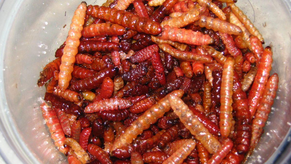 gusano-rojo-maguey