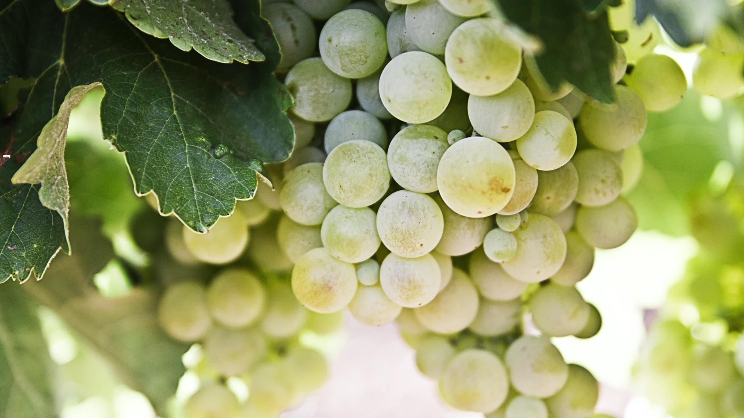vendimia uvas vino