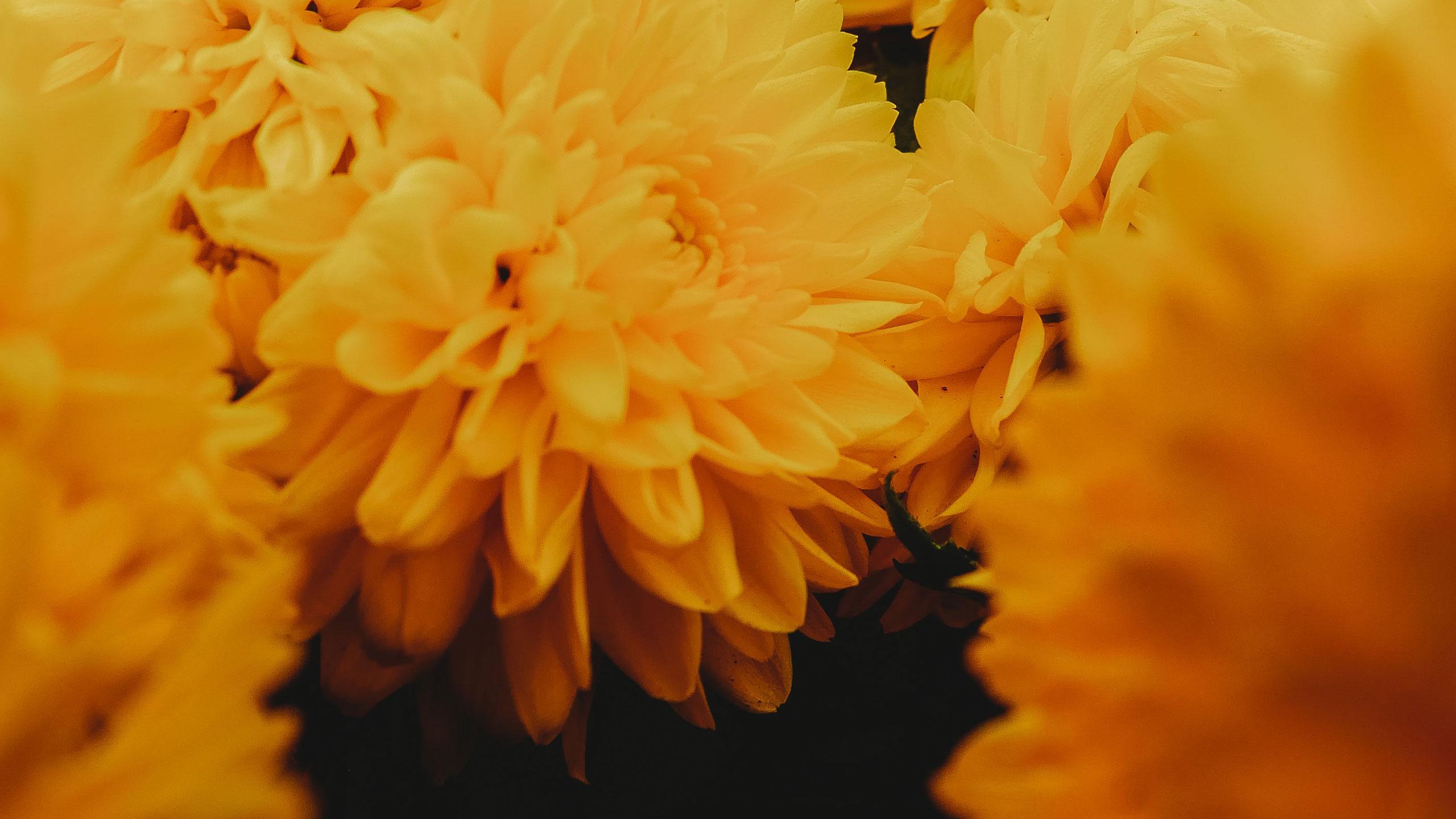 flor-de-cempasuchil